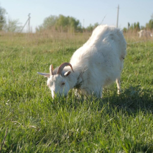 Goats Grass Seed Mix for Grazing & Pasture With Mixed Herbs
