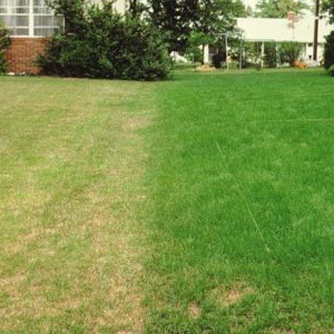 Extreme Drought Resistant Extreme Shade Lawn Seed with Kentucky Bluegrass Dry Soil