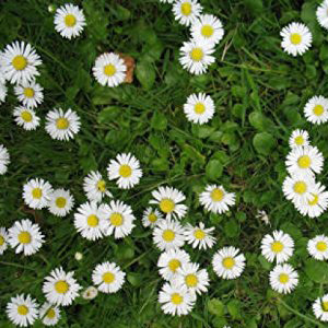 Daisy Lawn Grass Seed