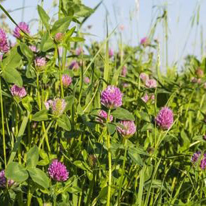 Red Clover Ley