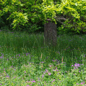 Mix 2A 80/20 Wildflower Meadow Mix for WOODLANDS HEDGEROWS GRASSES Shade Areas
