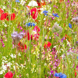 Mix 71 70/30 Wildflower Meadow Mix Ancient British With Rare Grasses