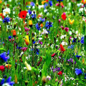 Mix 55 70/30 Wildflower Meadow Mix for Acidic & Clay Soil