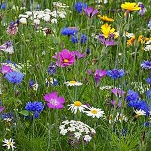 Mix 16 80/20 Wildflower Meadow Mix for Butterfly & Bee