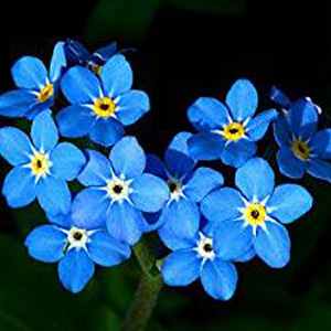 Forget-Me-Not Perennial Seeds