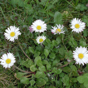 Daisy Bellis Perennis Pure daisy Seeds