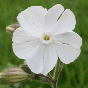 White Campion Annual Seeds