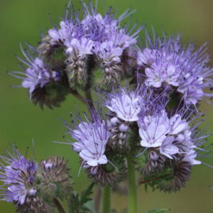 Purple Tansy Green Manure Annual Seeds