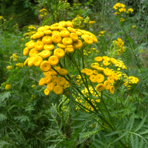 Yellow Tansy Tanacetum Vulgare Perennial Seeds