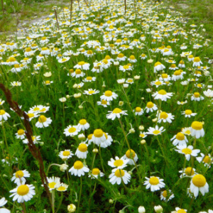 Scented Mayweed Annual Seeds