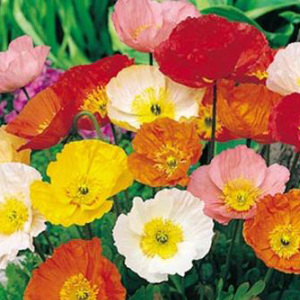 Iceland Poppy Mix Perennial Seeds