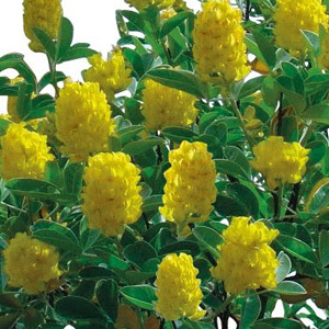 Cytisus Battandieri 'Pineapple Broom' Seeds