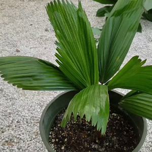 Licuala Grandis 'Ruffled Fan Palm' Seeds