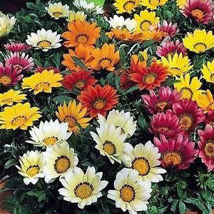 Gazania Splendens Sunshine Mixed Seeds