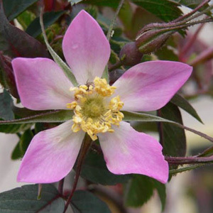 Rosa Glauca Thornless Rose Seeds