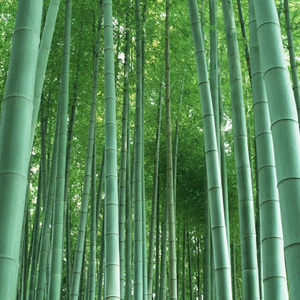 Phyllostachys Pubescens 'Giant Moso Bamboo' Seeds