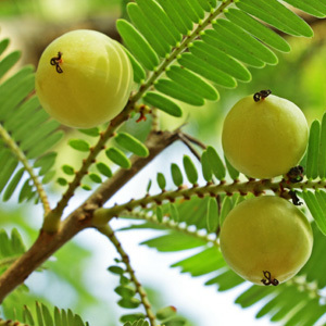 Indian Gooseberry Phyllanthus Emblica Seeds