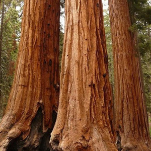 Sequoiadendron Giganteum 'Giant Redwood' Seeds