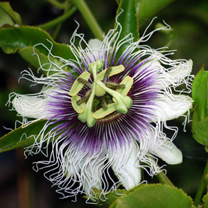 Passiflora Edulis Flavicarpa 'Blue Passion Fruit' Seeds