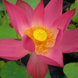 Nelumbo Nucifera 'Water Lily' Mix Seeds