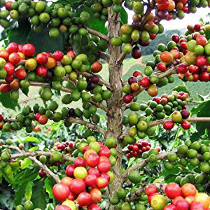 Arabica Coffee Plant Seeds