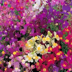 Linaria Maroccana Northern Lights Seeds
