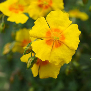 Common Rock Rose Perennial Seeds