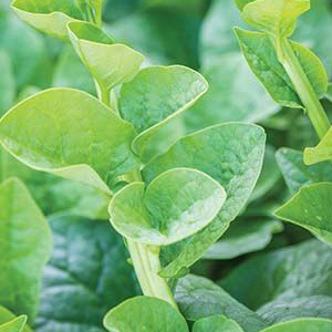 Green Malabar Spinach Seeds