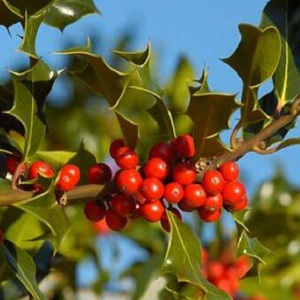 Ilex Aquifolium 'Common Holly Bush' Seeds
