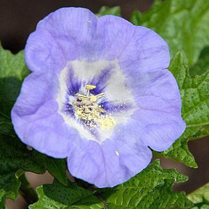 Nicandra Physalodes 'Shoo-Fly' Seeds