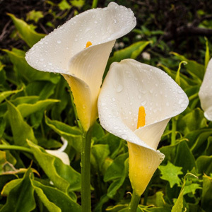 Zantedeschia Aethiopica Lily of the Nile Calla Lily Seeds