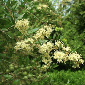 Lawsonia Inermis 'Henna Tree' Seeds