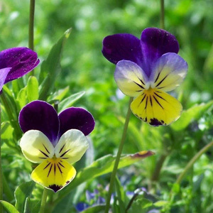 Viola Tricolour 'Heart's Ease' Seeds