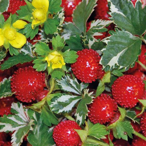 Duchesnea Indica 'Indian Strawberry' Seeds