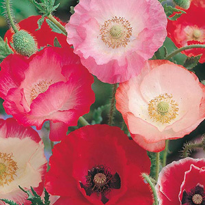 Shirley Poppy Single Mixed Papaver Rhoeas Annual Seeds