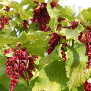 Leycesteria Formosa 'Golden Lanterns' Seeds