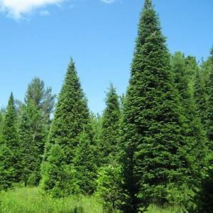 Abies Balsamea 'Balsam Fir' Tree Seeds