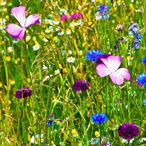 500g Seed Wild Flower Cornfield Annual Flower Mixture