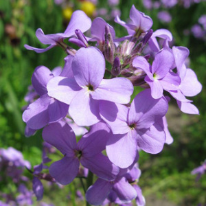 Matthiola Bicornis 'Night Scented' Seeds