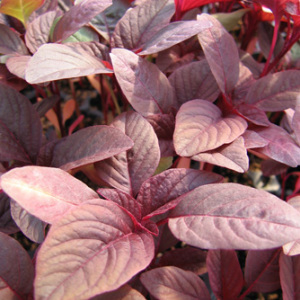 Amaranth 'Red Army' Seeds