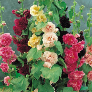 Hollyhocks Alcea Rosea 'Chater's Double' Seeds