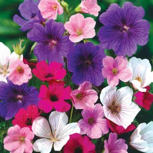Hardy Geranium Mix Seeds