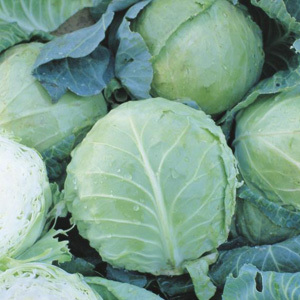 Cabbage 'Holland Late Winter' Seeds