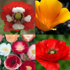 Poppy Premium 4 Species Mix