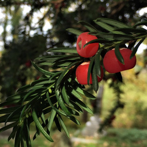 Taxus Baccata 'Yew Tree' Seeds