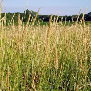 Reed Canary Grass Seeds