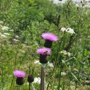 Melancholy Thistle Seeds