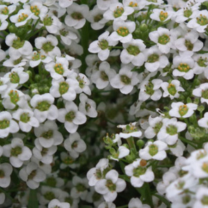 Alyssum Maritima 'Carpet of Snow' Seeds