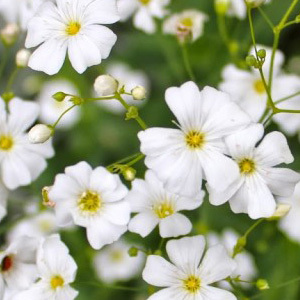 Gypsophila Elegans 'Covent Garden' Seeds