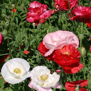 Papaver Rhoeas 'Shirley Poppy Double Mixed' Seeds